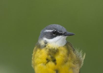 Alvéola-amarela