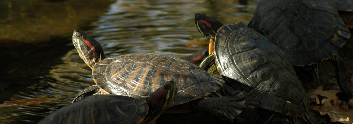 Tartaruga da Flórida