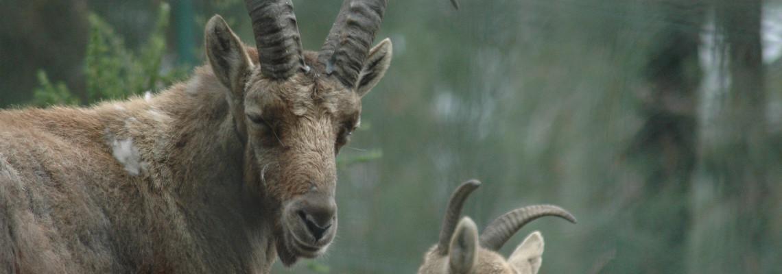 Cabra-montês