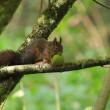 Esquilo-vermelho.JPG