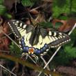 Papilio-m_2019jg.jpg
