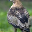aguia-calcada-pbg-jlt.jpg
