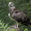 aguia-cobreira_pbg-jlt.jpg