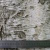 betula-alba1.jpg