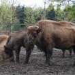 bisontes_.jpg