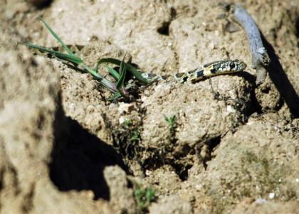 Cobra-de-ferradura