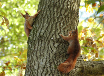 Esquilo-vermelho