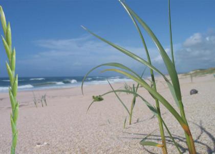 Feno-das-areias