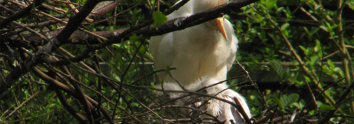 Garça-boieira