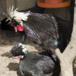 galinhas-PBG-jlt.jpg