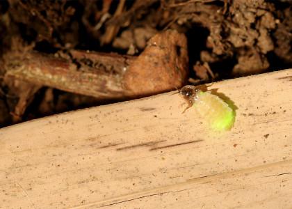 Pirilampo-pequeno-de-lunetas