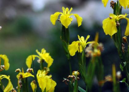 Lírio-amarelo-dos-charcos