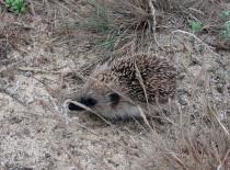 Ouriço-cacheiro
