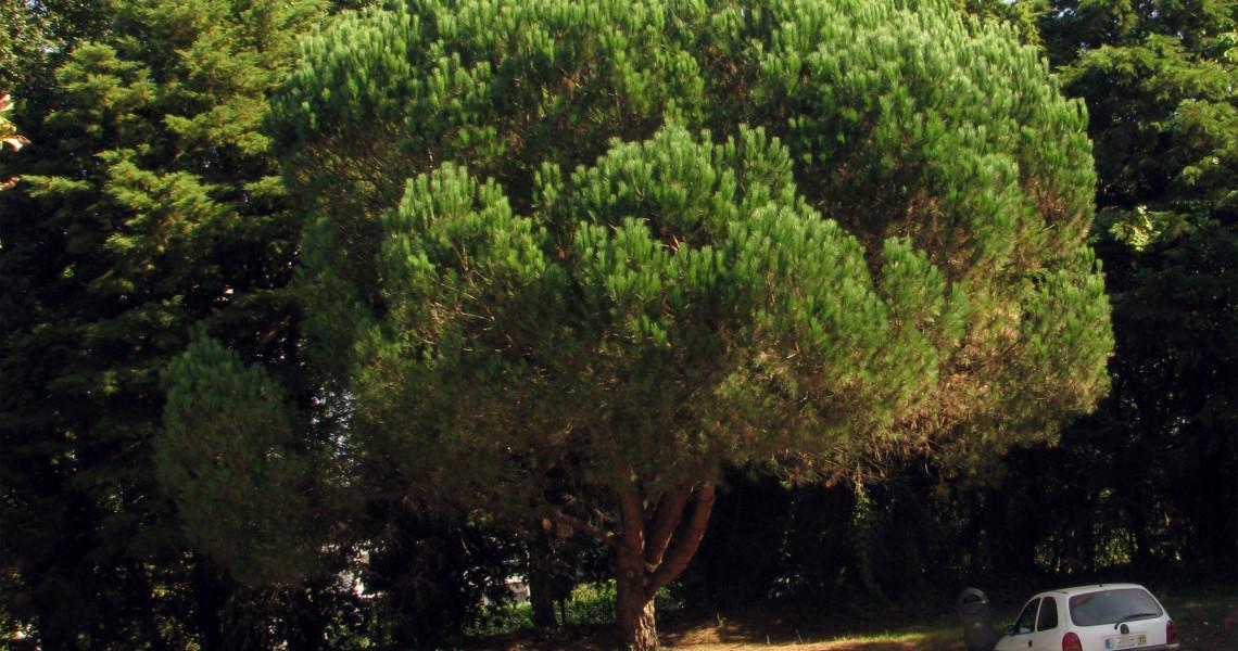 Pinheiro-manso