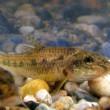 peixes-Gobio-45.jpg