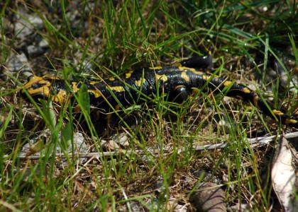 Salamandra-de-pintas-amarelas