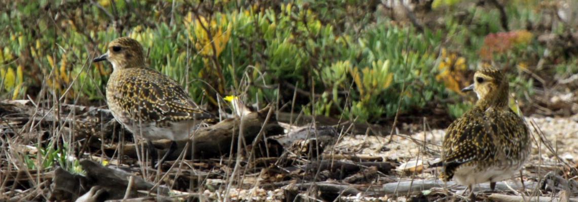 Tarambola-dourada
