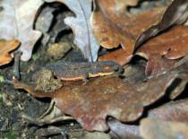 Tritão-de-ventre-laranja