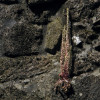 umbilicus-flor.jpg